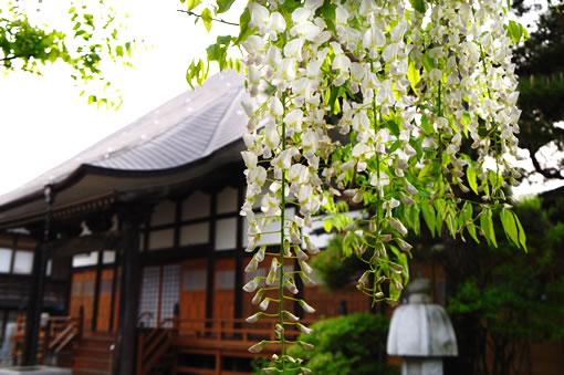 八王寺の大白藤